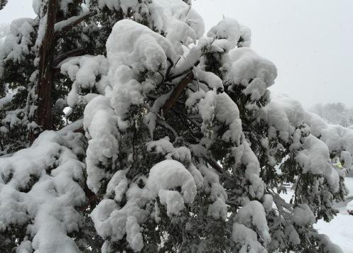 SnowBentBranches