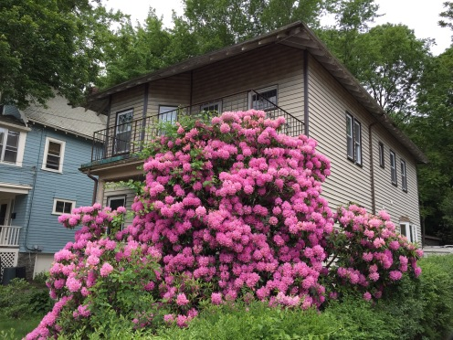 HouseSizedRhododendron