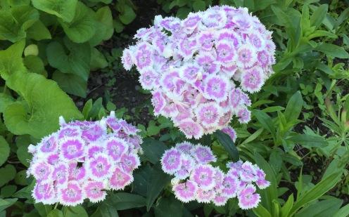 LavenderSweetWilliams